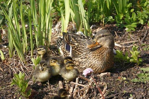 Duck, Ducklings, Water Bird, Mother, Babies, Family