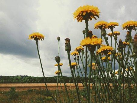 Dandelions, Flowers, Yellow, Field, Storm, Clouds, Rain