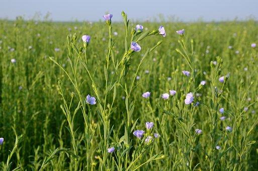 Flax, Flower, Linen Flower, Flax Cultivation, Farm