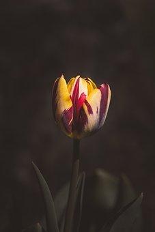 Tulip, Flower, Garden, In The Garden, Schnittblume