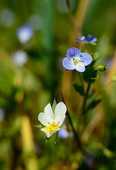 Flowers, Pansy, Wild, Spring, Nature, Flower, Plant