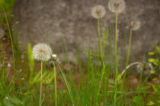 Dandelion, Seeds, Flowers, Plants, Stem, Leaf, Stone