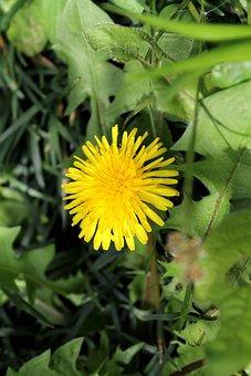 Dandelion, Yellow, Flowers, Chrysanthemum, Spring