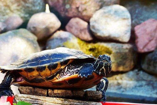 Turtle, Gad, Amp Shipping, Pond, Boulders, Footbridge