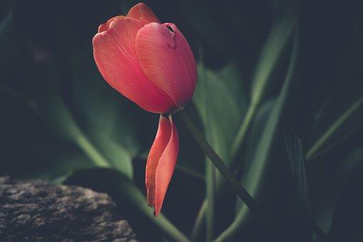Tulip, Flower, Red, Blossom, Bloom, Nature, Garden
