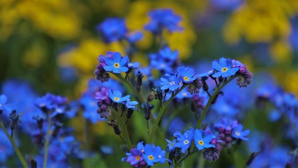 Blue, Small Flowers, Nots, The Delicacy, Garden