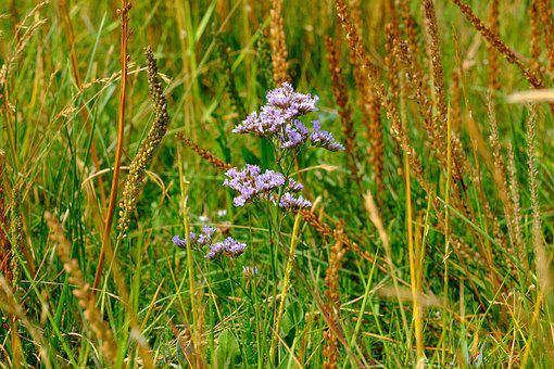 Pointed Flower, Grasses, Nature, Meadow, Flower, Spring