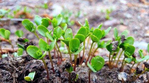 Sprouts, Flax, Flowers, Oil, Seedlings, Health, Food
