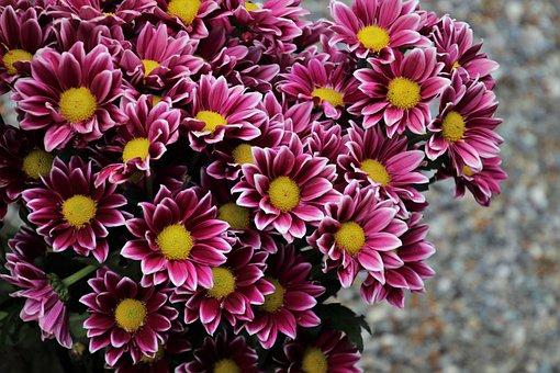 Margarita, Garden, Pink, Composites, Inflorescence