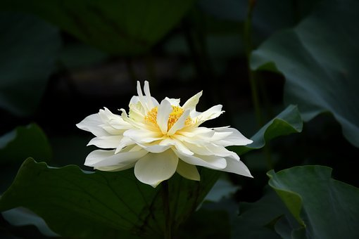 Flowers, Lotus, White, Green Leaves, Life In The Lagoon