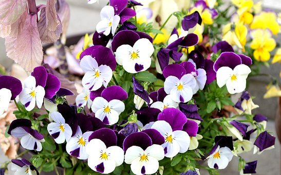 Pansy, Violets, Purple Flowers, Spring, Plant, Natural