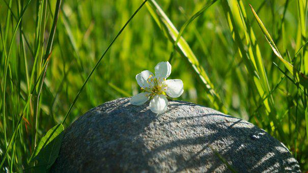 Nature, Plants, Grass, Stone, White, Flower
