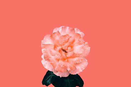 Flowers, Rose, Nature, Blossom, Pink, Love, Romantic