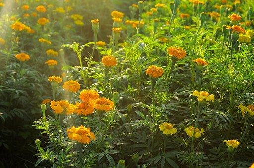 Flower, Field, Nature, Spring, Marigold, Outdoor