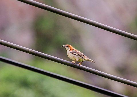 Sharing Hung, Passer Rutilans, Birds, Nature