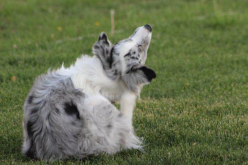 Dog, Dalmatian, Pet, Pedigree, Breed, Domestic, Canine