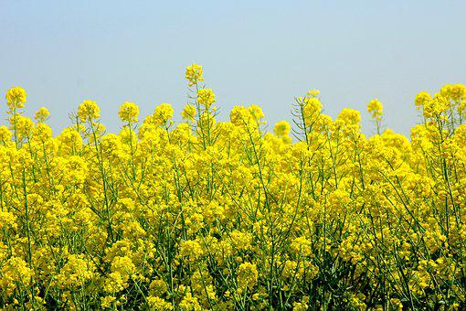 Rapeseed, Plant A Buttery, Canola Field, Blooming