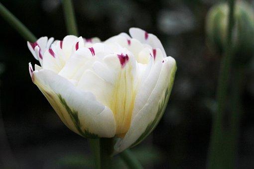 Tulipa Danceline, White, Red Spots, Double, Flower