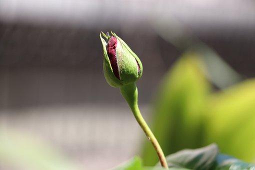 Rose, Garcia, Flower, Plant, Nature, Macro, Red, Garden