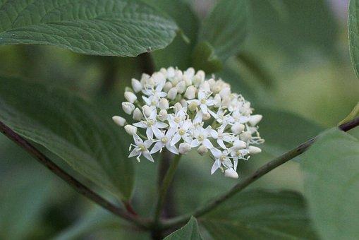 Cornus Siberica, Flowers, White, Screen Flower, Garden