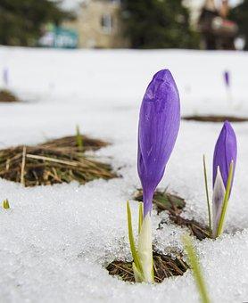 Crocus, Snow, Spring, End Of Winter, Purple, Saffron