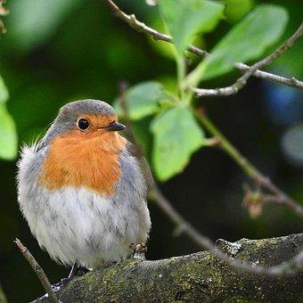 Bird, Songbird, Red Goblets, Sitting, Wild, Robin