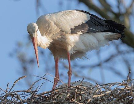 Stork, Nest, Bird, Bill, Storchennest, Wing, Storks