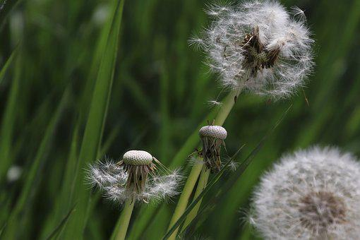 Dandelion, Nuns, Fluff, Closeup, Plant, Spring, To