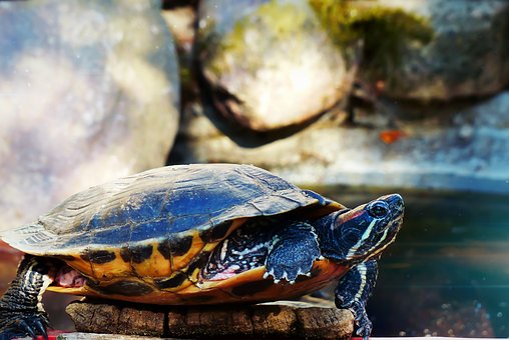 Turtle, Gad, Amp Shipping, Pond, Park, Footbridge
