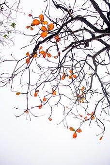 Red Leaf Season, Spring, Vietnam