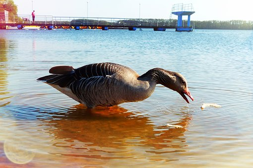 Goose Grey Goose, Water Bird, Lake, Beach, Food
