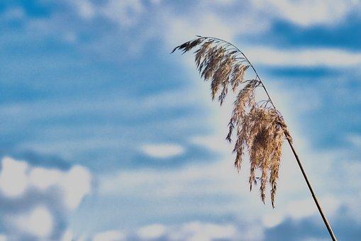 Reed, Moor, Water, Nature, Wetland, Plant, Moorland