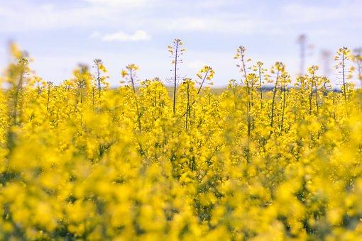 Moldova, Agriculture, Beautiful, Blue, Canola, Color