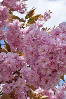 Cherry Blossom, Pink, B, Blossom, Bloom, Tree, Branch