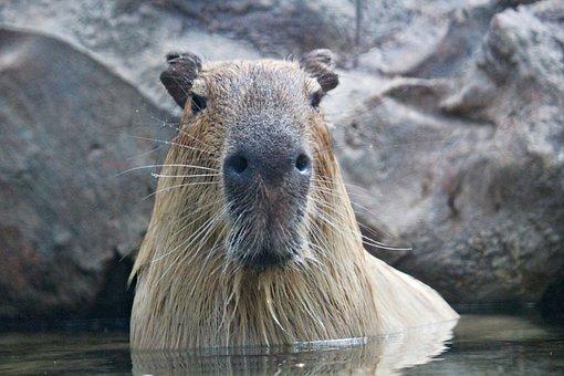 Capybara, Rodent, Animal, Large, Mammal, Water, Bath