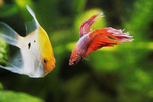 Skalára, Yellow, Betta, Warrior, Aquarium, Fish