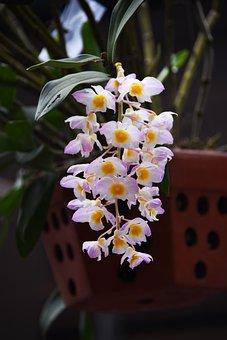 Orchid, Dendrobium Farmeri, Kieu Square, Blooming