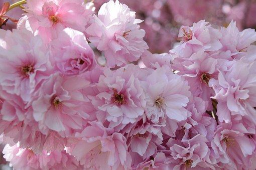 Japanese Cherry, Blossom, Bloom, Pink, Spring