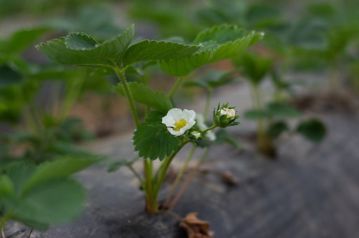 Strawberry Plant, Blossom, Bloom, Strawberry Flower