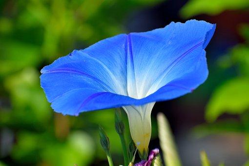 Vibrant Blue Flower, Floral, Botany, Vibrant, Blue