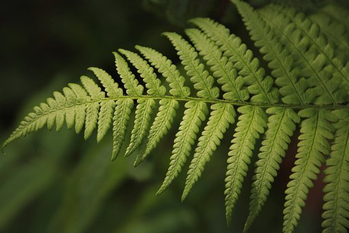Fern, Green, Leaf, Ferns, Fresh, Close Up, Flora, Plant