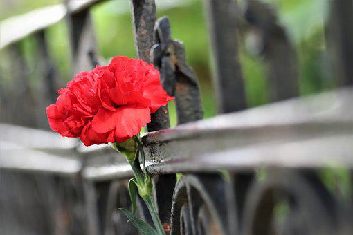 Red Carnation, Iron Fence, Grave, Condolence