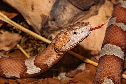 Snake, Venomous Snake, Copper Head, Close Up, Reptile