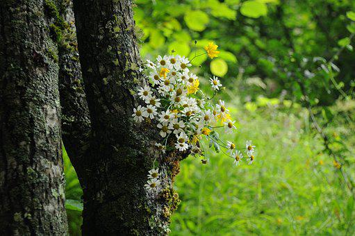 Flower, Daisy, Nature, Natural, Chichewa In A Tree