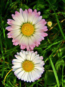 Daisy, Marie Flower, Yellow, White, Pink, Spring