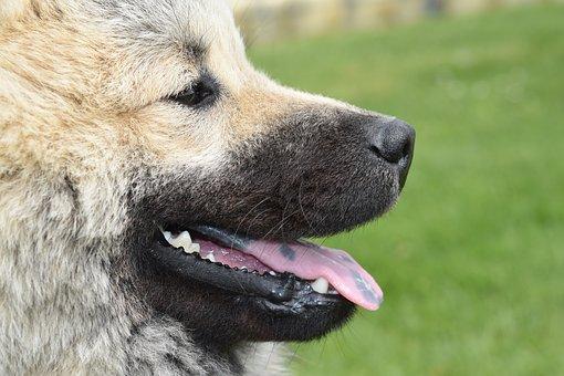 Dog, Dog Eurasier, Dog Nordic Race