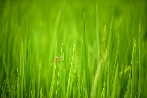 Dragonfly, Rice Field In Vietnam, Vietnam, Rice