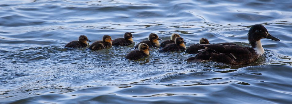 Black Duck, Ducklings, Swimming, Baby Ducks, Water