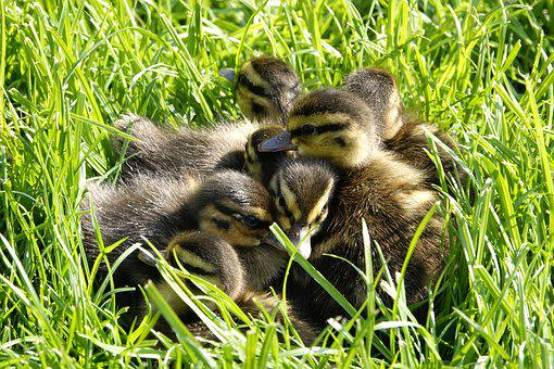 Ducklings, Rest, Water Bird, Cute, Small, Fluffy