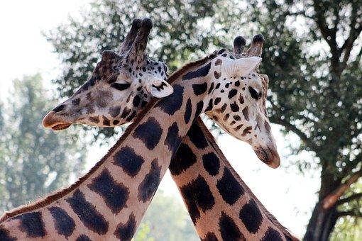 Giraffe, Couple, Neck, Long, Head, Ears, Pattern